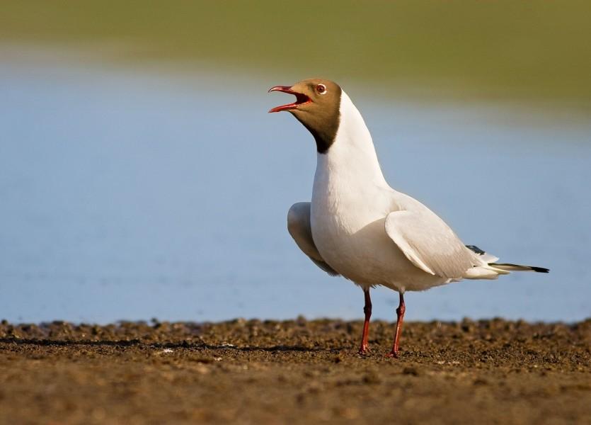 Black headed Gull (Larus ridibundus) 001