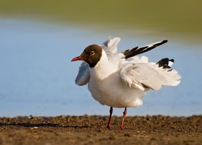 Black headed Gull (Larus ridibundus) 003