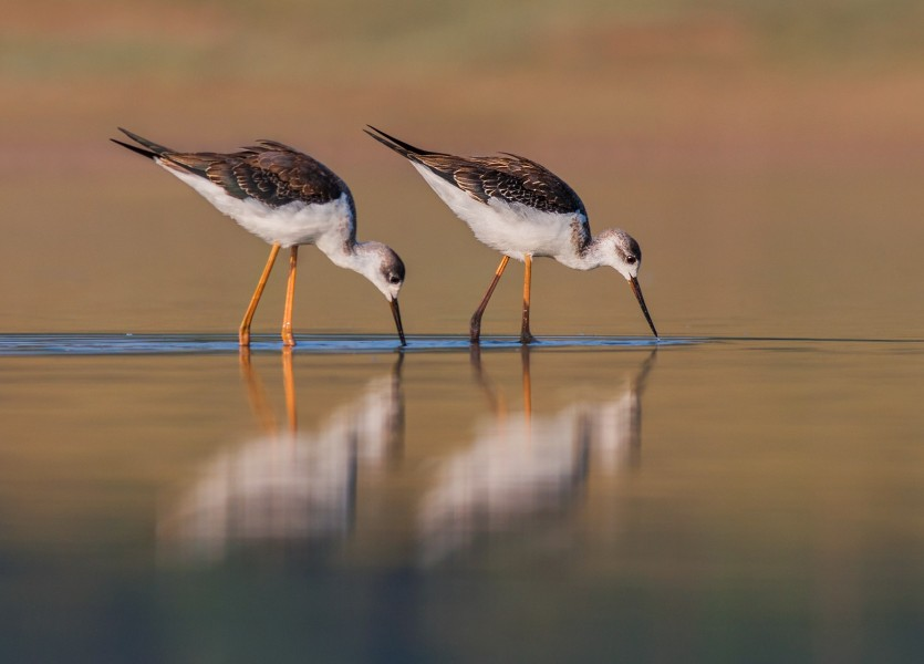 Black winged stilt (Himantopus himantopus) 105