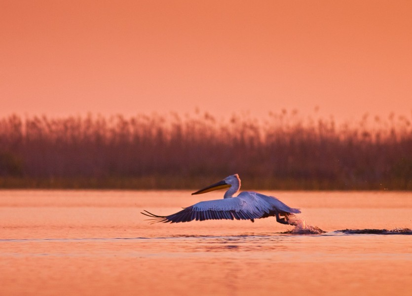 Great white pelican (Pelecanus onocrotalus) 001