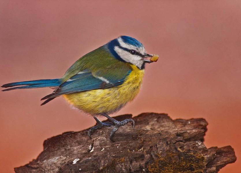 Parus caeruleus (Blue tit) 01 PP