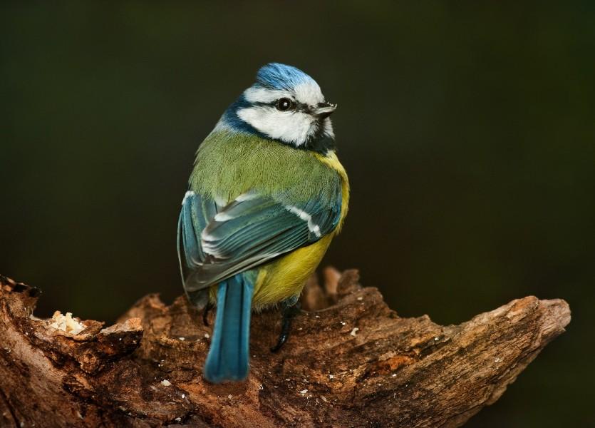 Parus caeruleus (Blue tit) 04