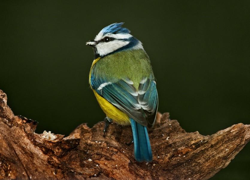 Parus caeruleus (Blue tit) 05