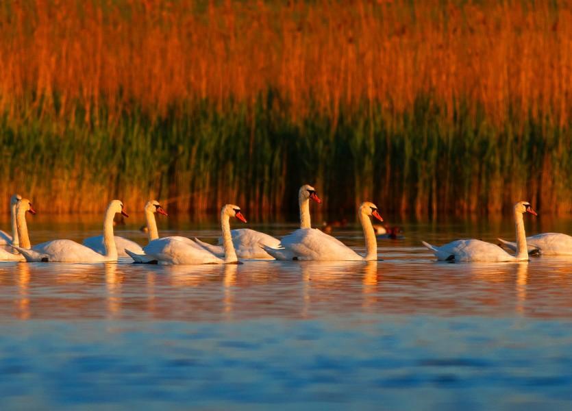Mute Swans in Danube Delta