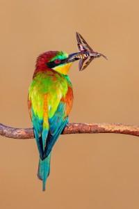 European bee-eater | Bienenfresser | Guêpier d'Europe | Prigorie